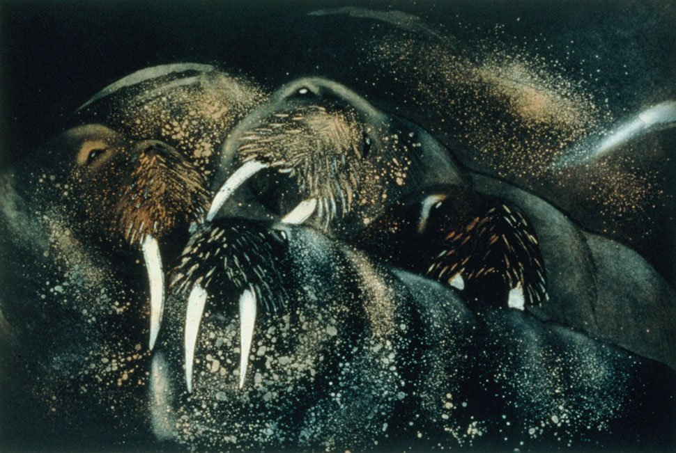 Walrus 1 etching by Vincent Sheridan 1990s